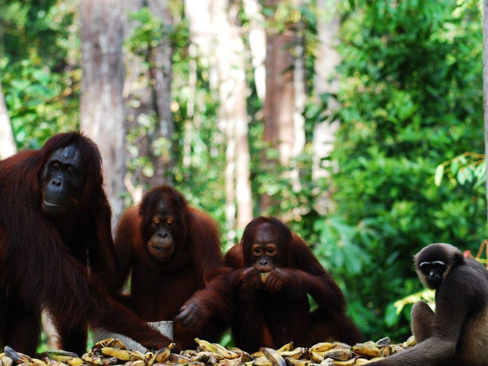 Borneo tour orangutanes en Indonesia