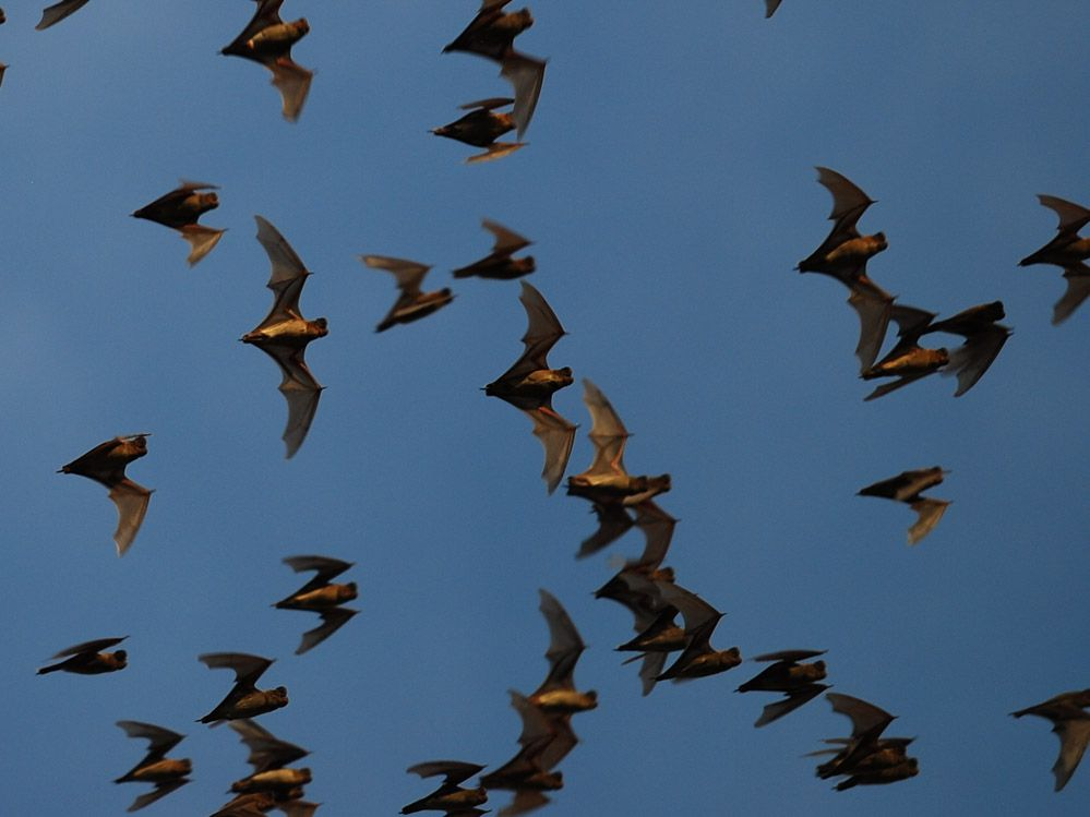 murciélagos-Tailandia