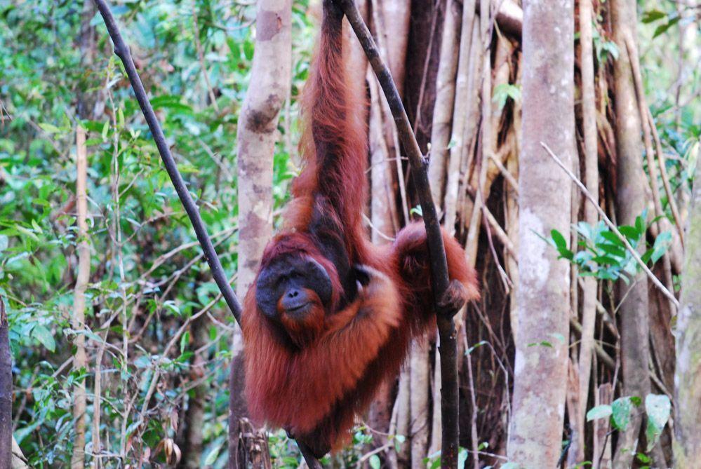 los-orangutanes-de-Borneo-en-Indonesia
