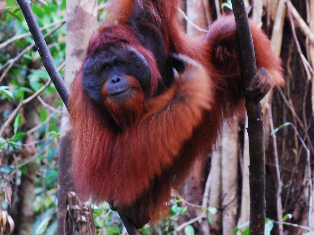 orangutanes-de-Borneo-macho-dominante