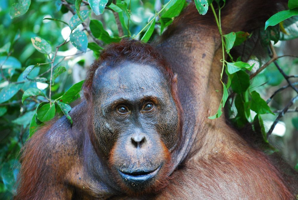Orangután-salvaje