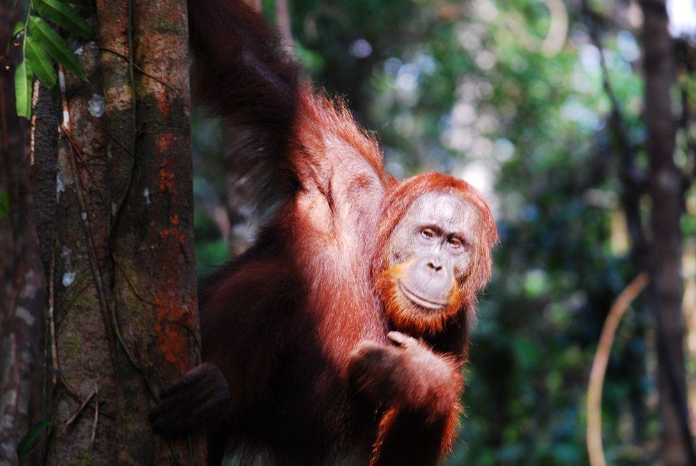 Orangután-Kalimantan