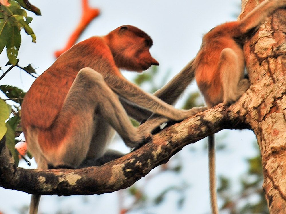 Monos narigudos endémicos de Borneo.