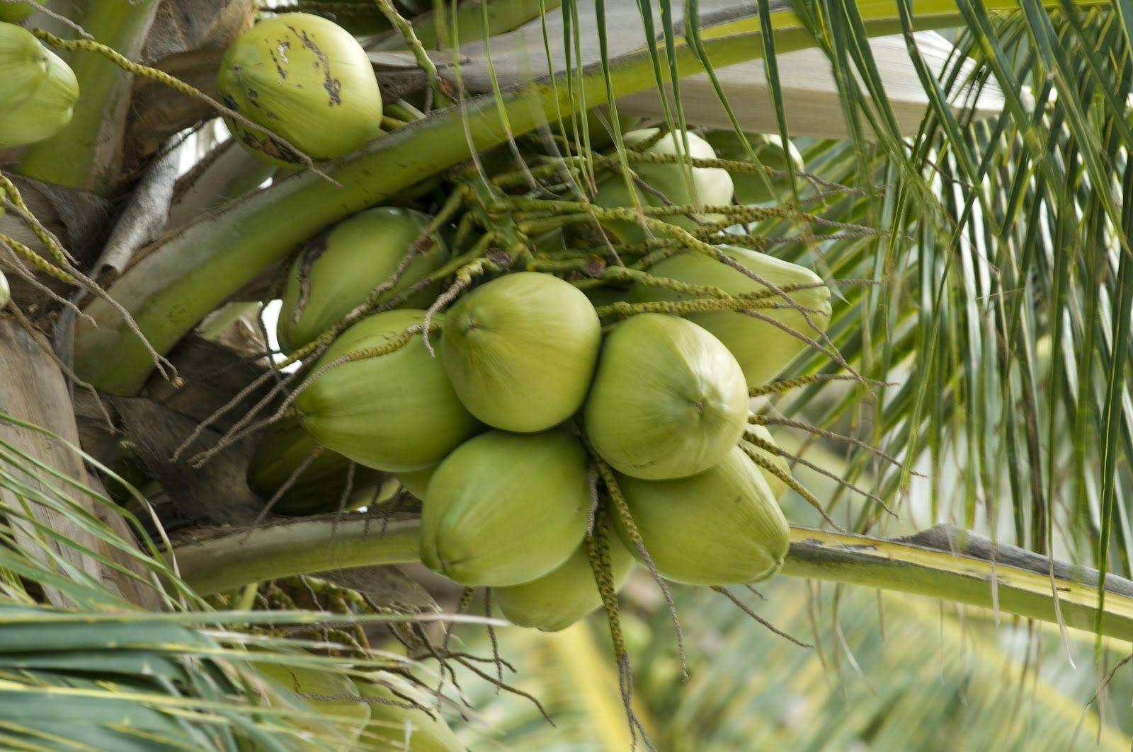 coco-Tailandia-Koh-Samui