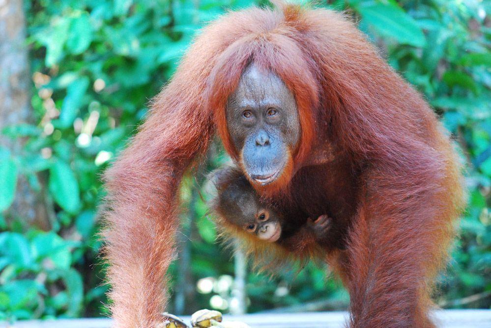 orangután-Borneo-Indonesia