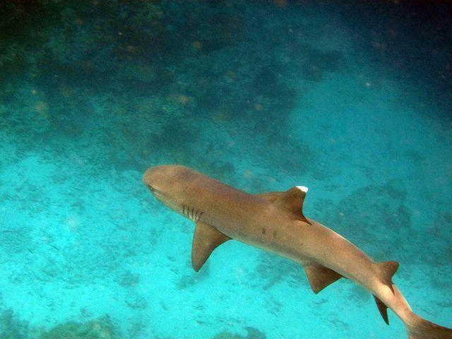 tiburon-maldivas