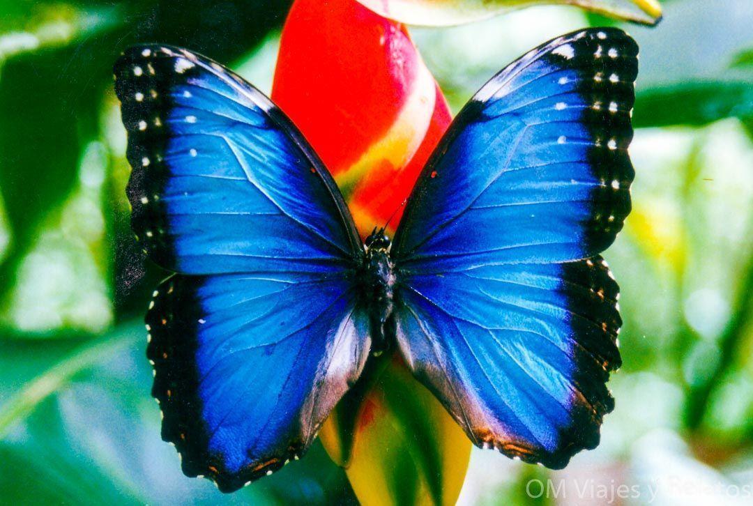 Tortuguero-por-libre-mariposa-morpho