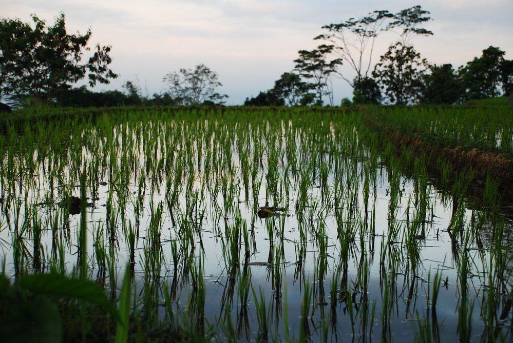 terrazas-de-arroz-en-Java