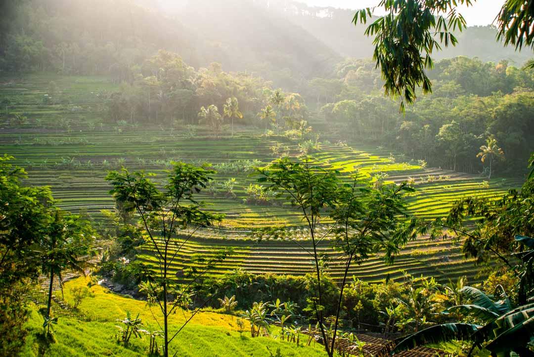 arrozales-Java