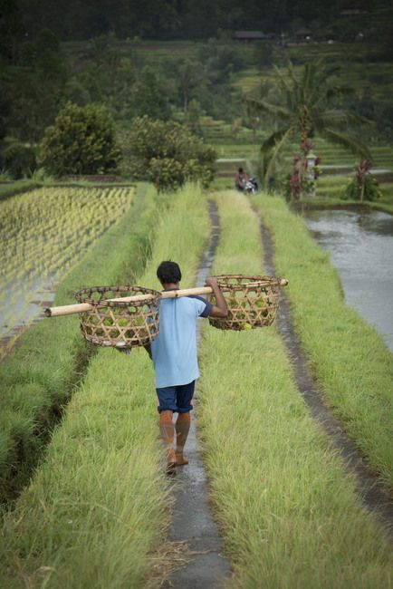 los arrozales de Java
