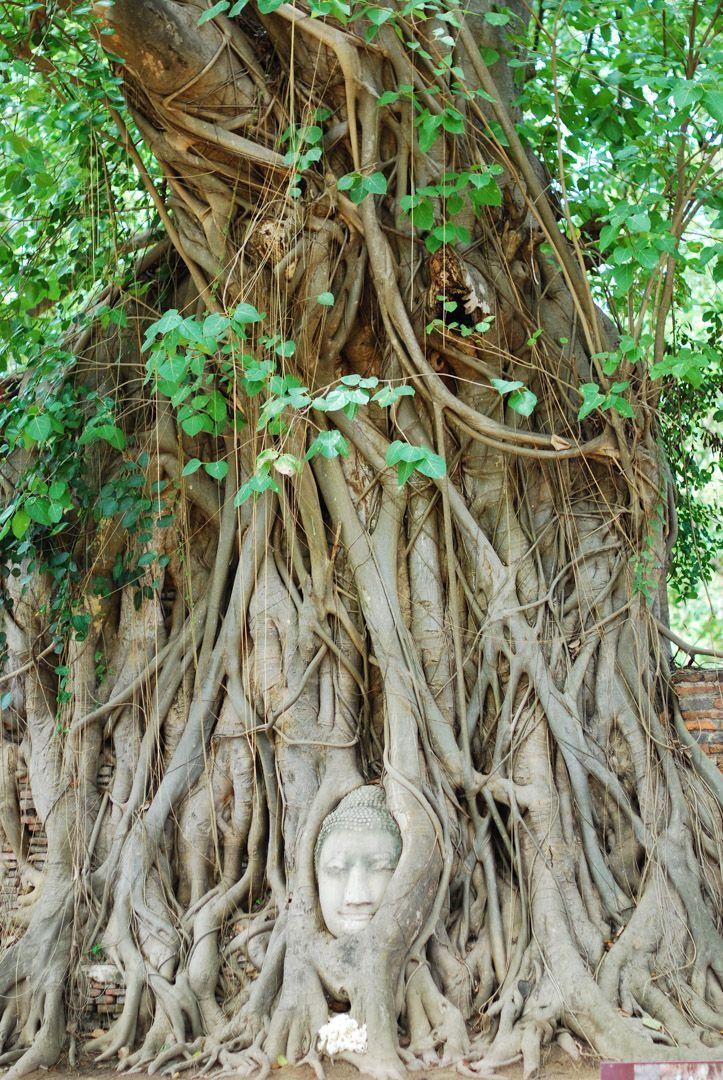 La cabeza de Buda en el árbol Tailandia