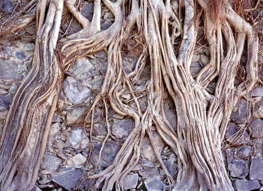 cabeza-de-Buda-en-el-árbol-de-Tailandia-leyenda