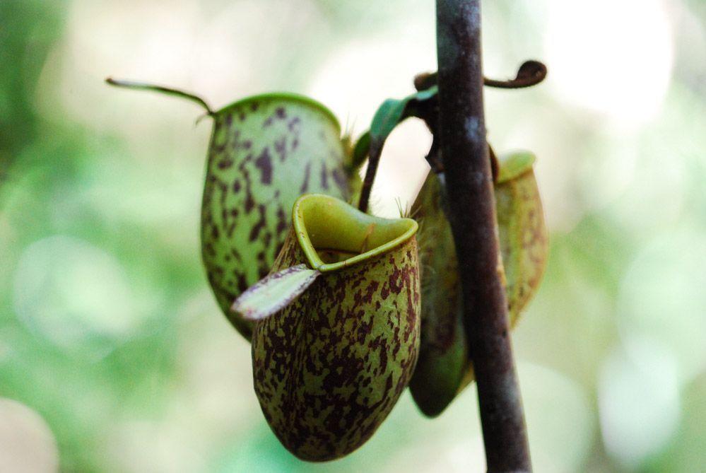 plantas-carnívoras-excursión-orangutanes-de-Borneo