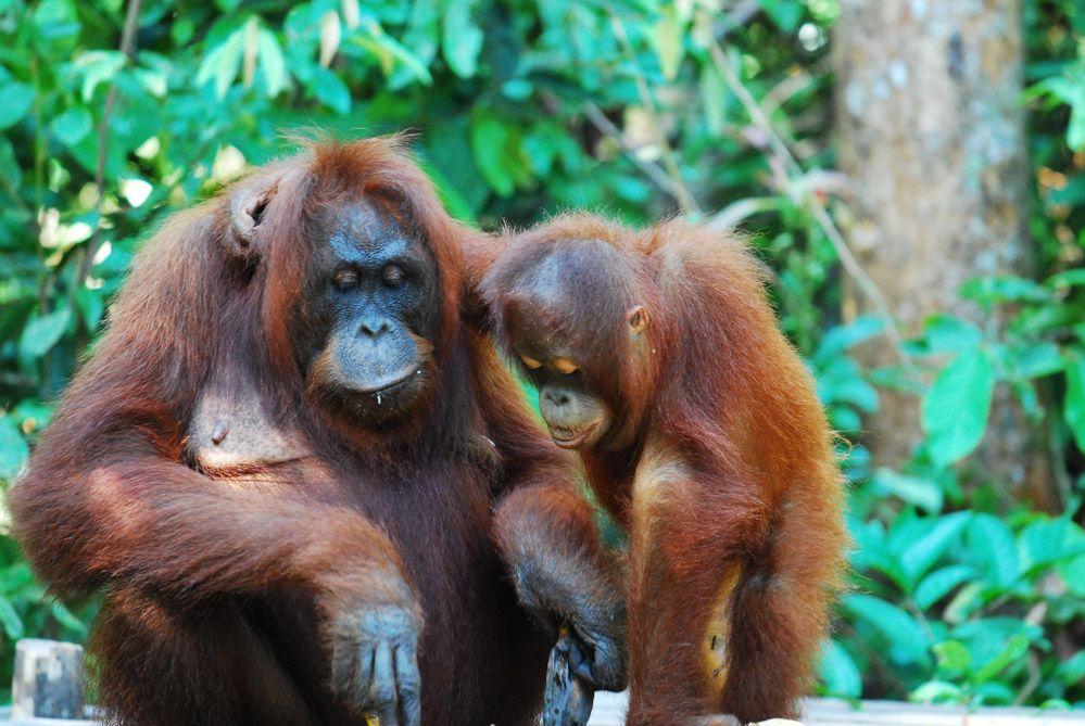 los orangutanes de Borneo en Indonesia