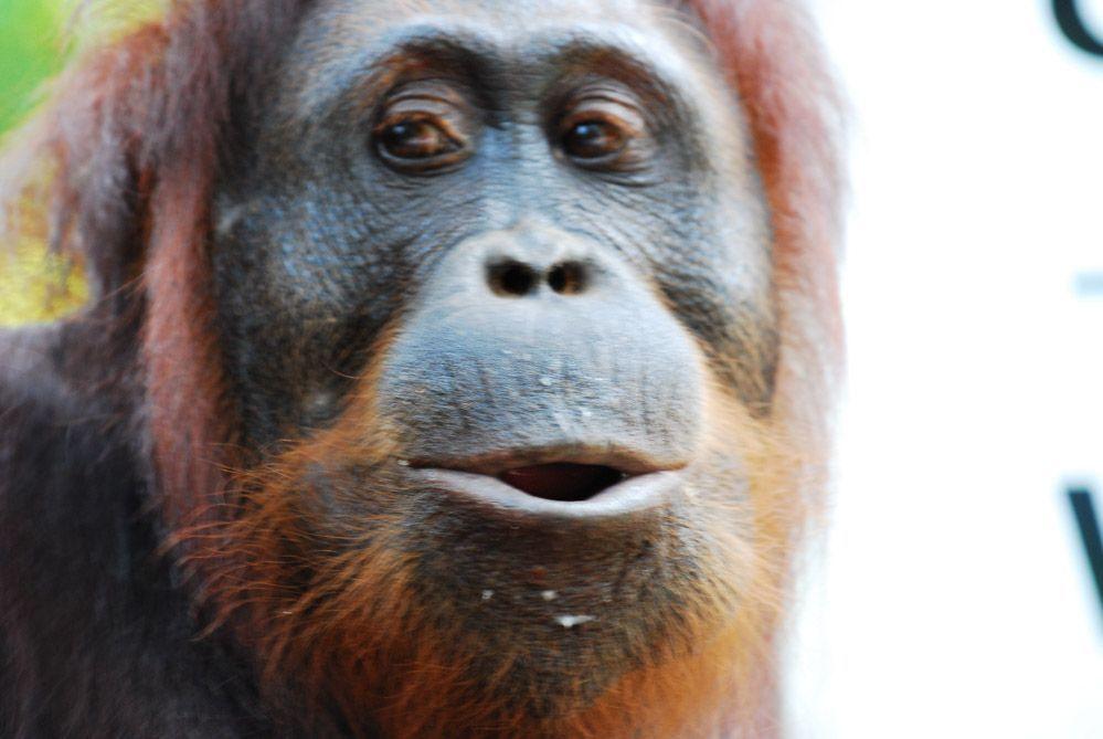 orangután-macho-Borneo