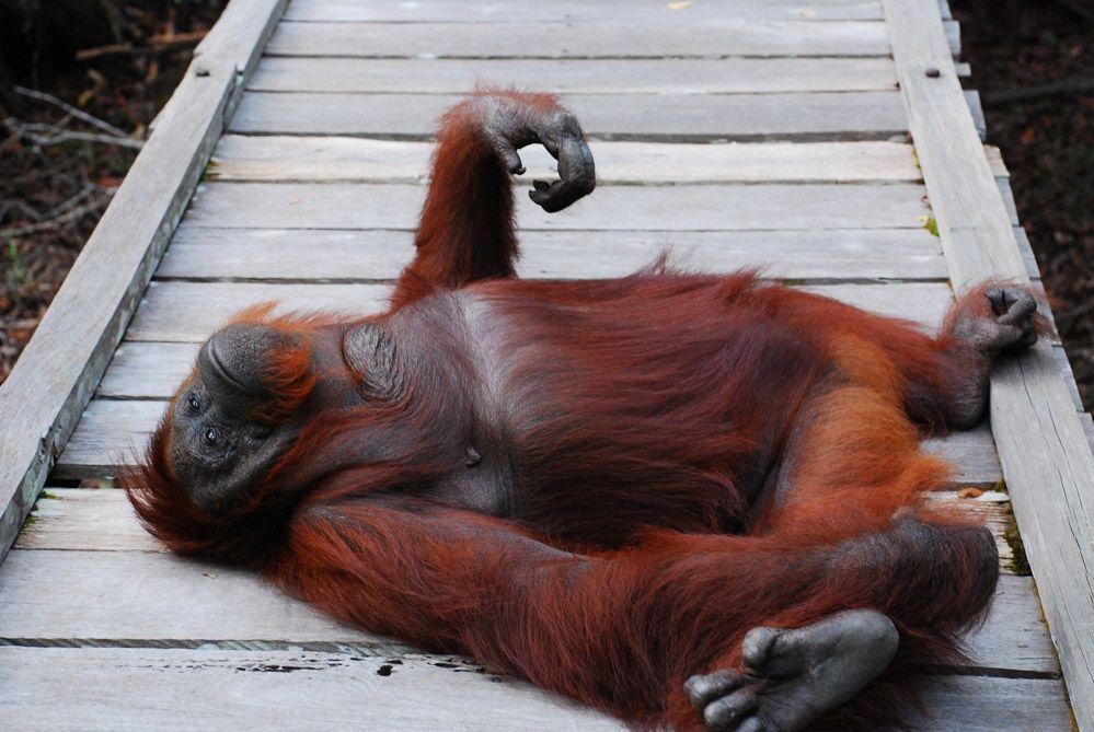 tour-de-orangutanes-en-Borneo