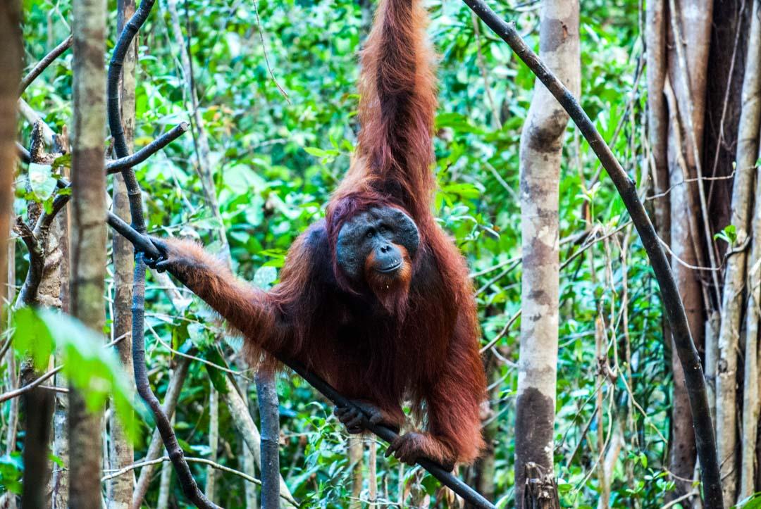 razones-para-un-viaje-a-Indonesia-orangutanes