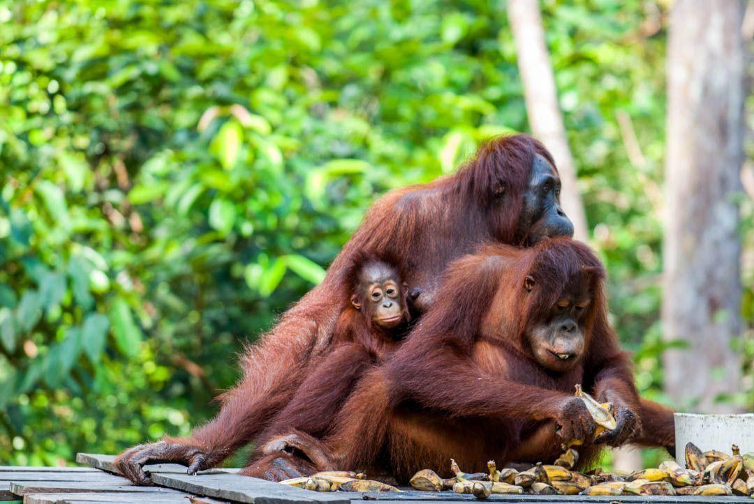 Orangutanes-Borneo