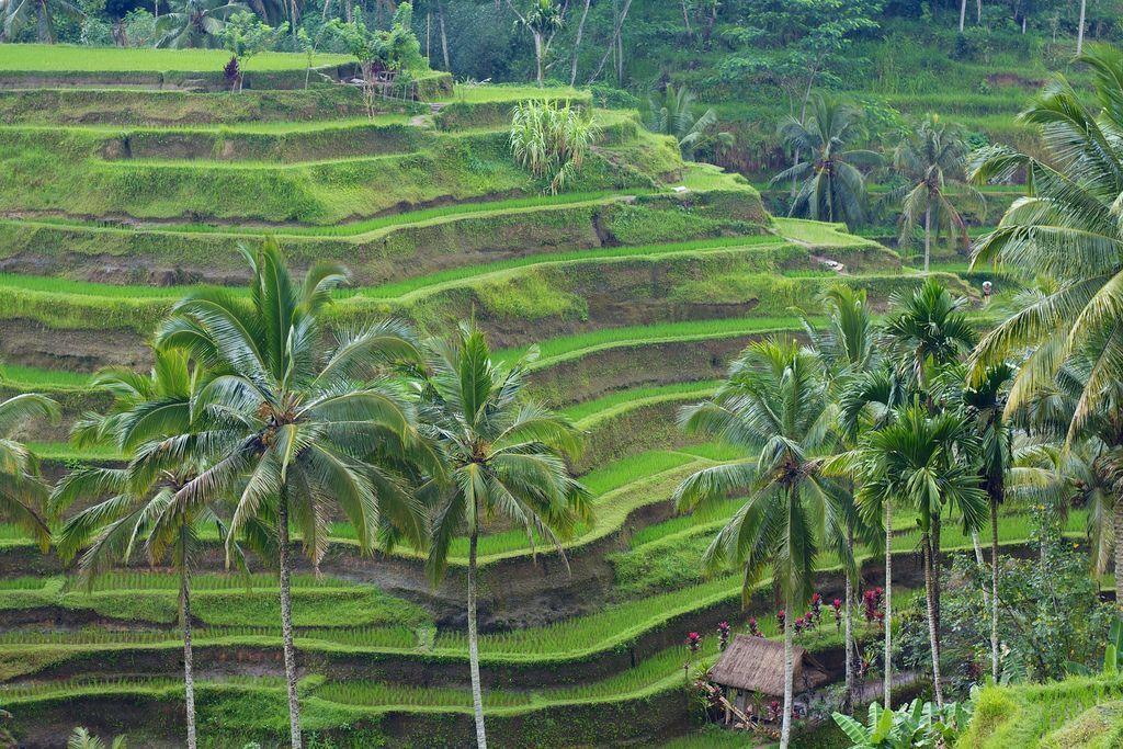 arrozales-Bali
