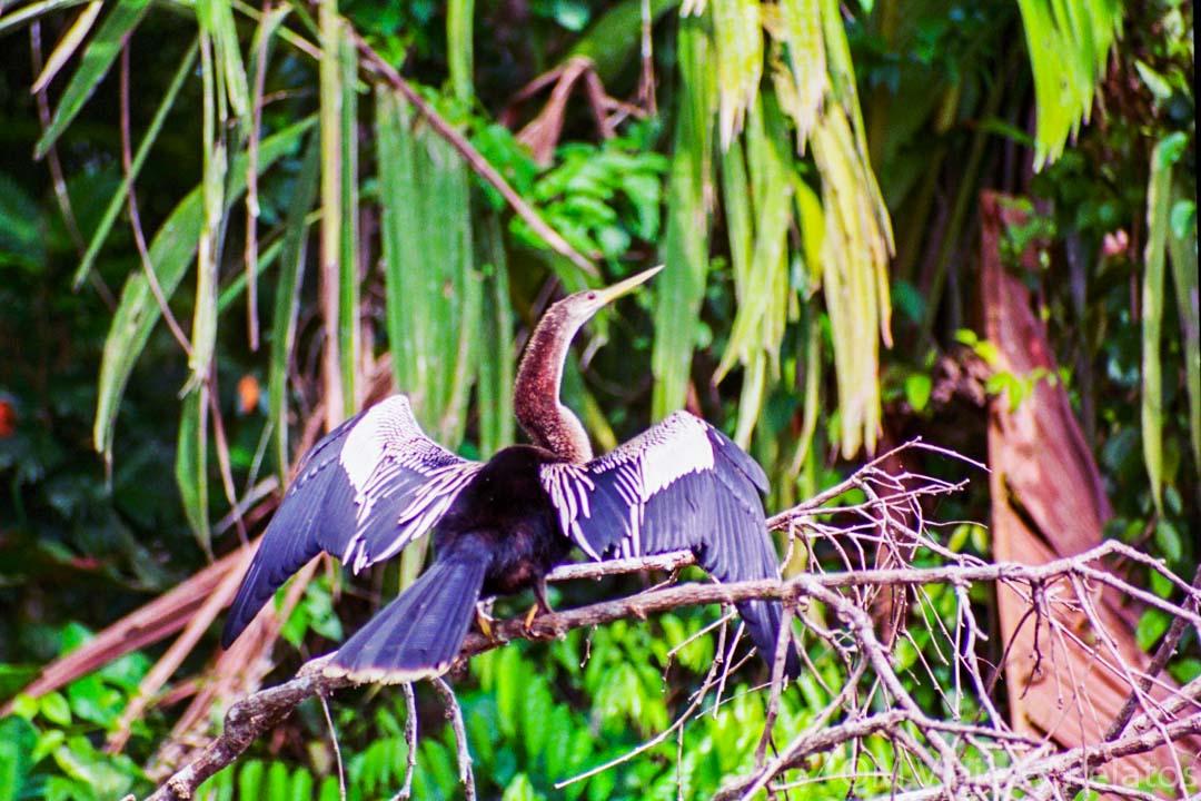 fauna-y-flora-Tortuguero
