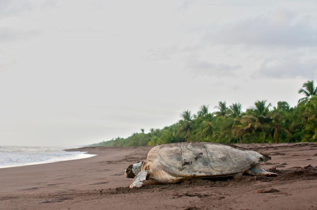 desove-de-tortugas-en-Tortuguero-Costa-Rica
