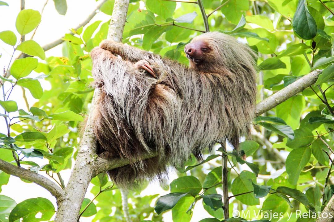 perezoso-Costa-Rica