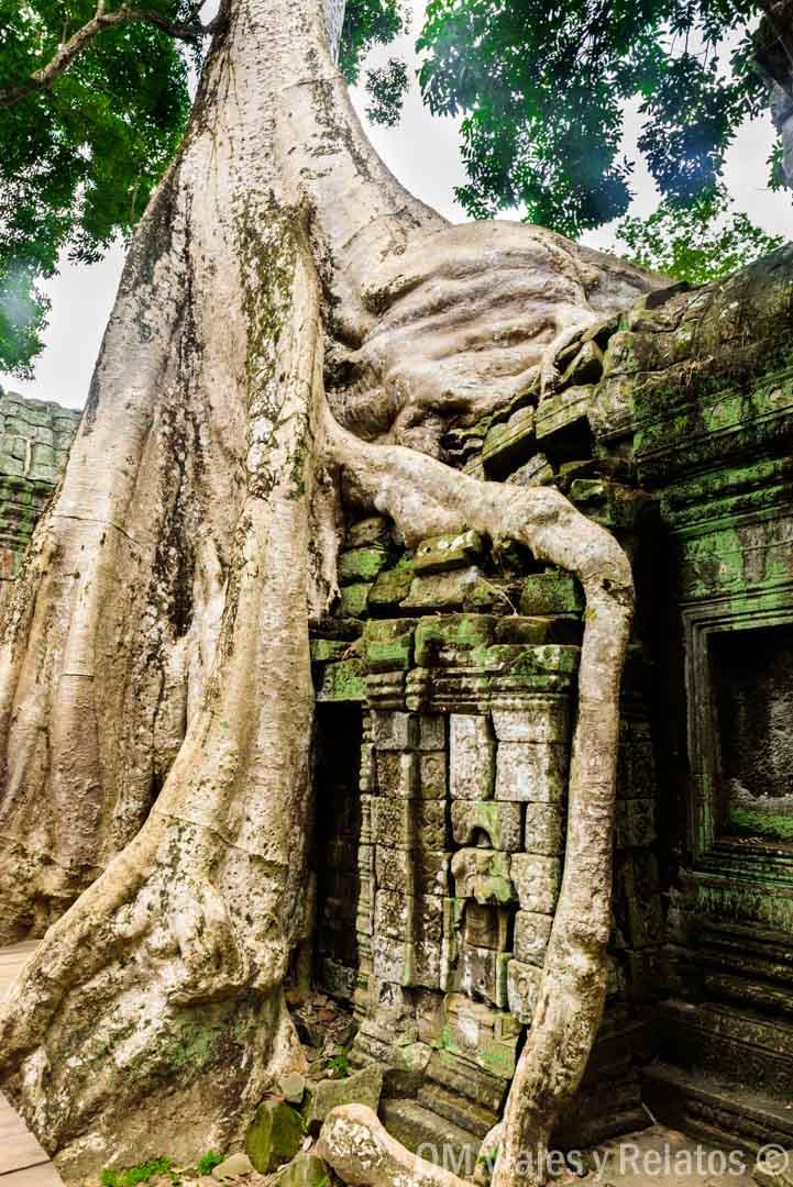 templo-raíces-Camboya