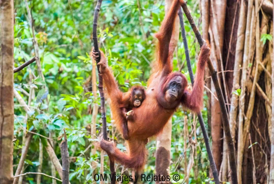 Selvas-de-Indonesia-ORANGUTANES