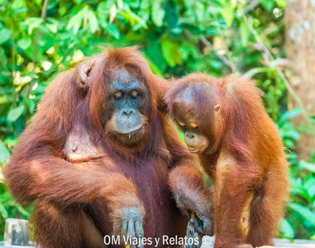 excursión-de-los-orangutanes-de-Borneo-Indonesia