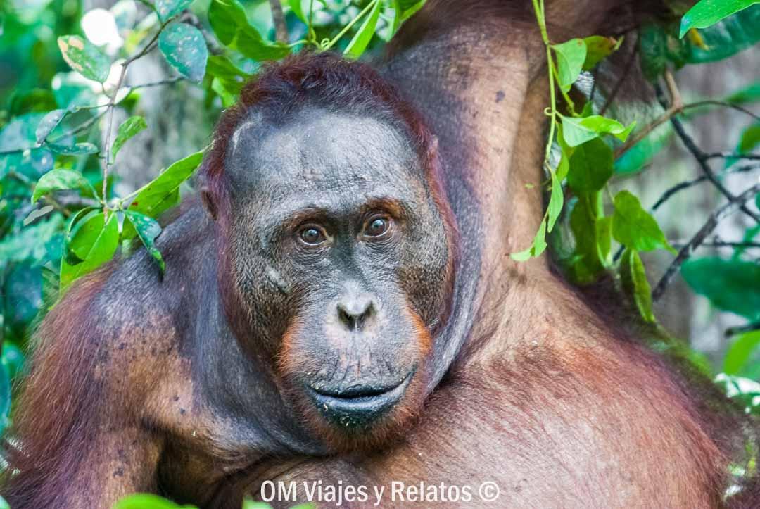 donde-ver-orangutanes-en-libertad