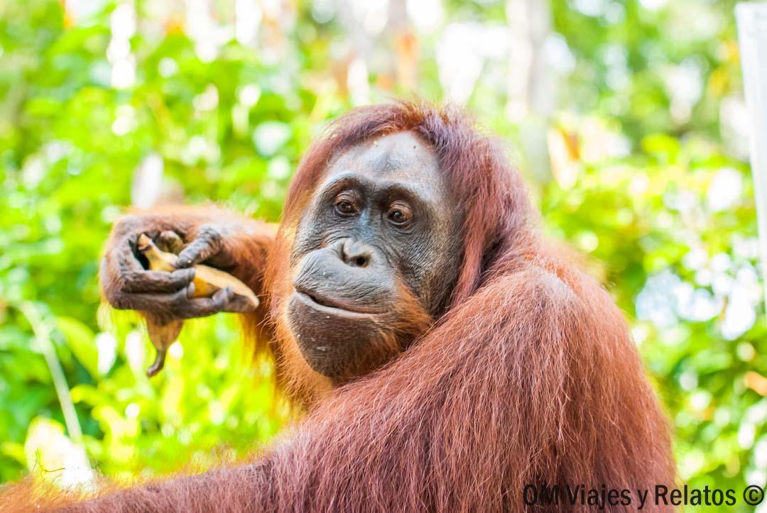 ruta-3-días-orangutanes-Borneo-Indonesia