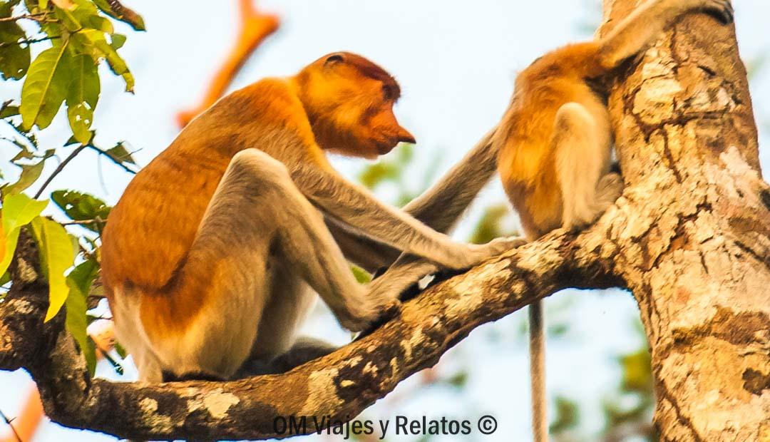 monos-narigudos-Borneo-excursión
