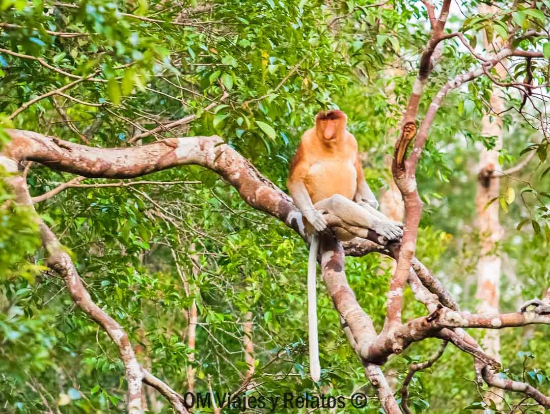 Mononarigudo-Borneo