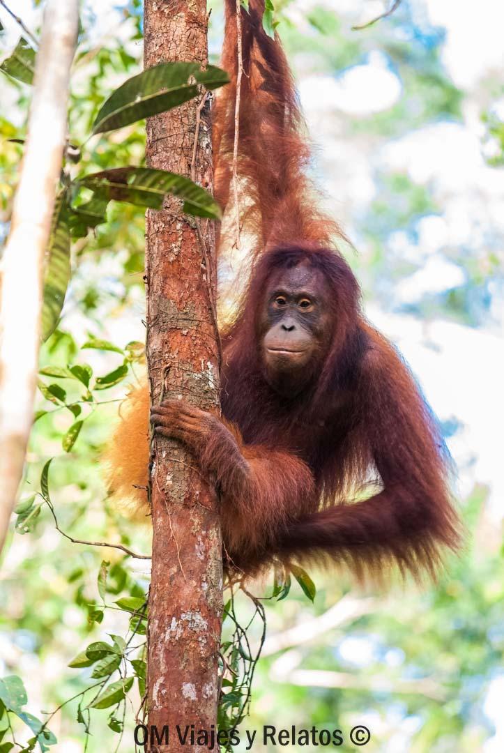 Los-orangutanes-de-Borneo