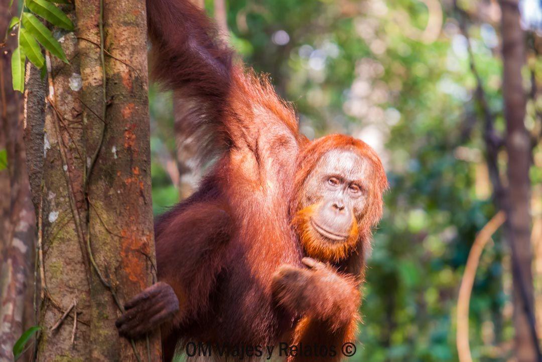 los-orangutanes-de-Indonesia