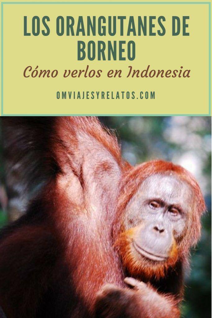 orangutanes-de-Borneo-Indonesia-Tour