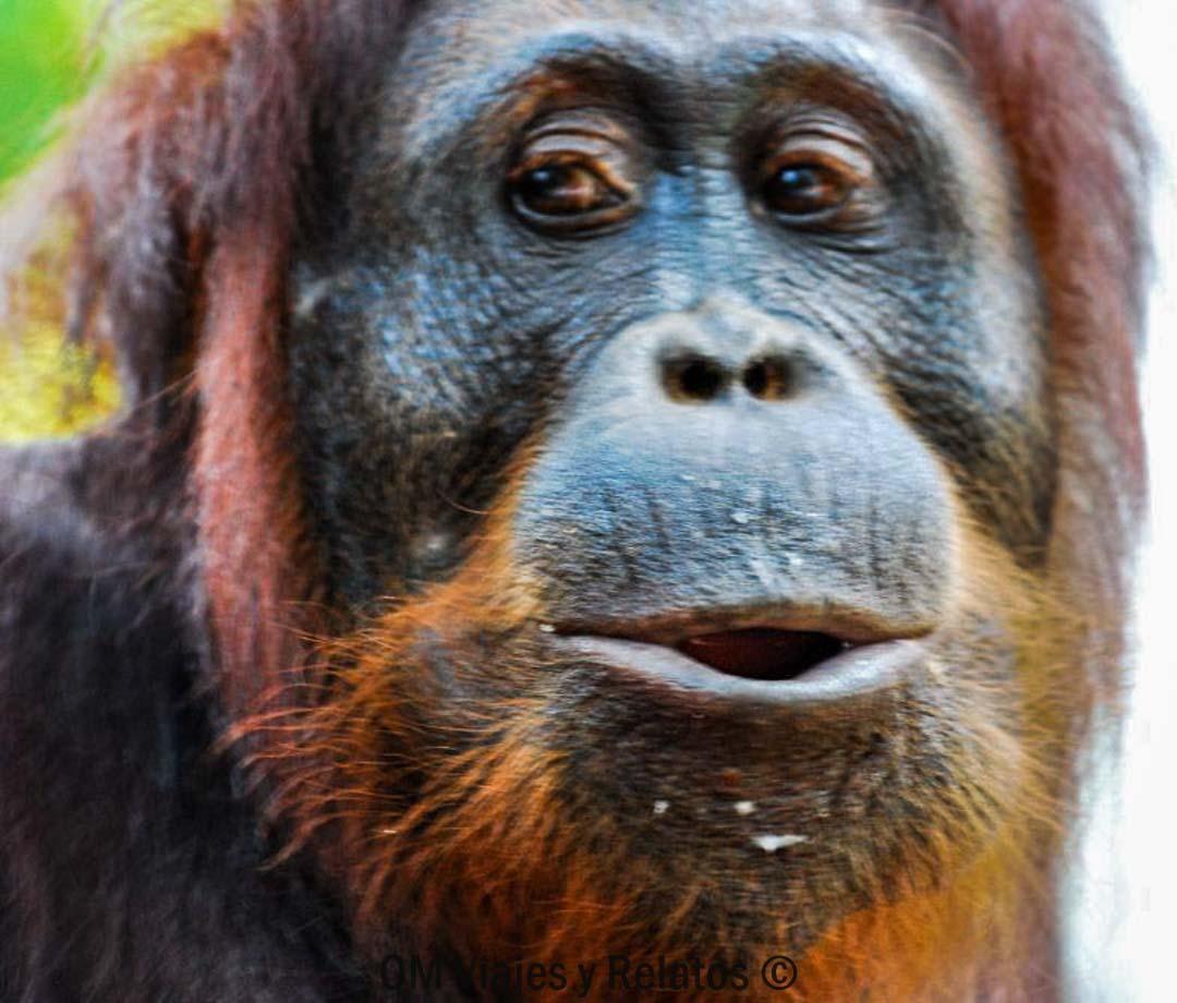 orangután-Borneo