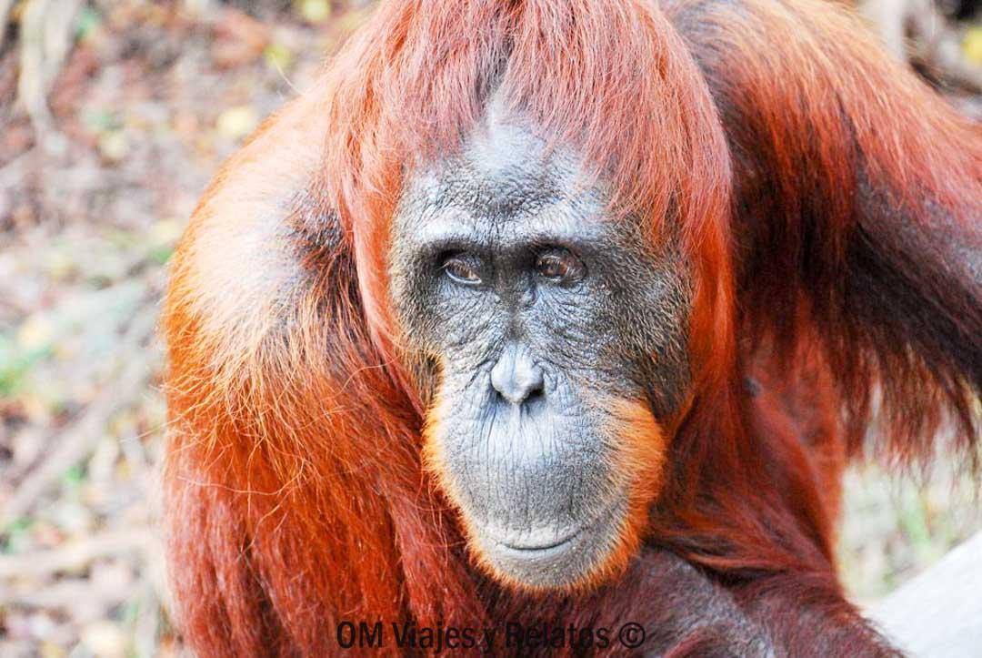 donde-ver-orangutanes
