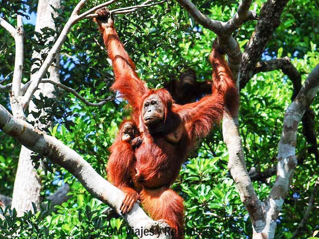 Naturaleza-Indonesia-orangutanes