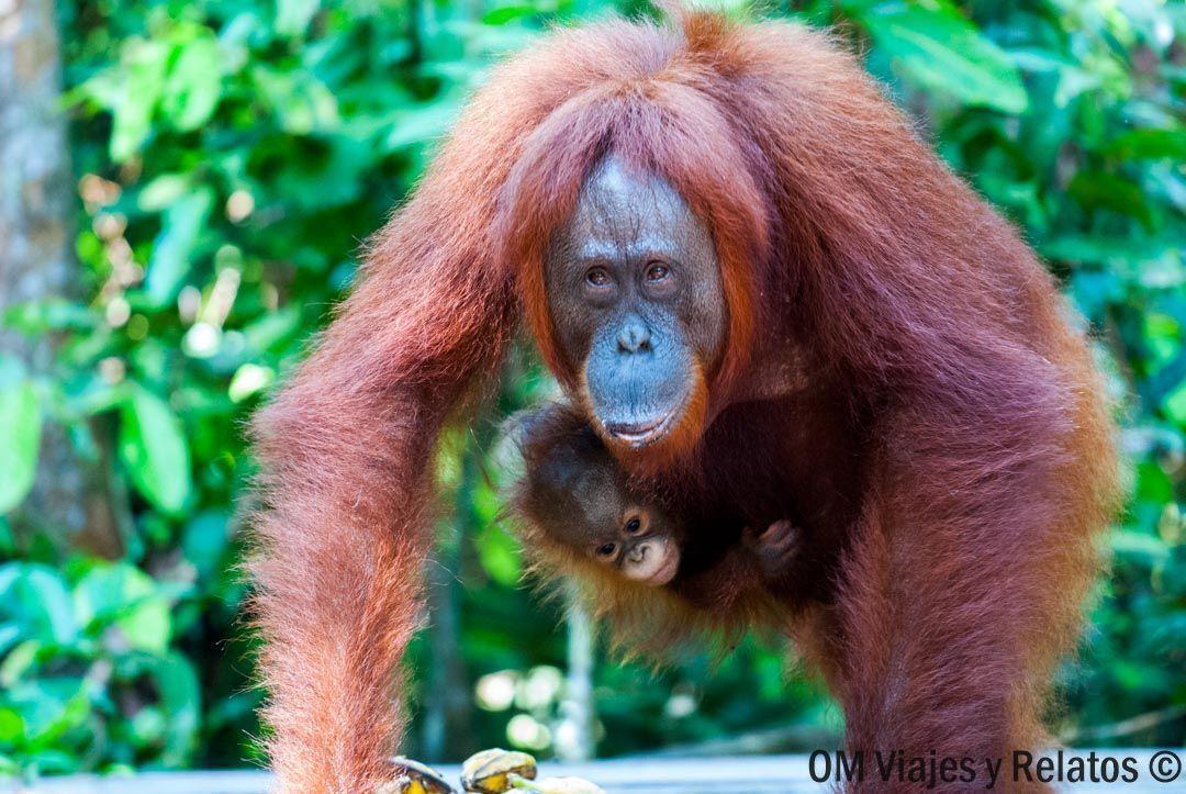 fotos-orangutanes-Borneo