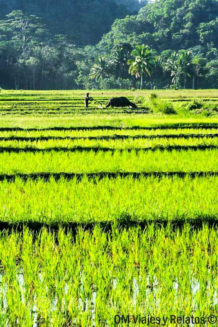 campos-de-arroz-Siem-Reap