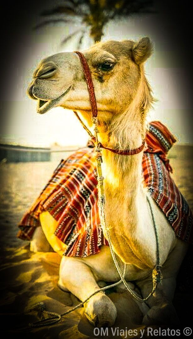viajar-a-Marruecos-camellos-dromedarios