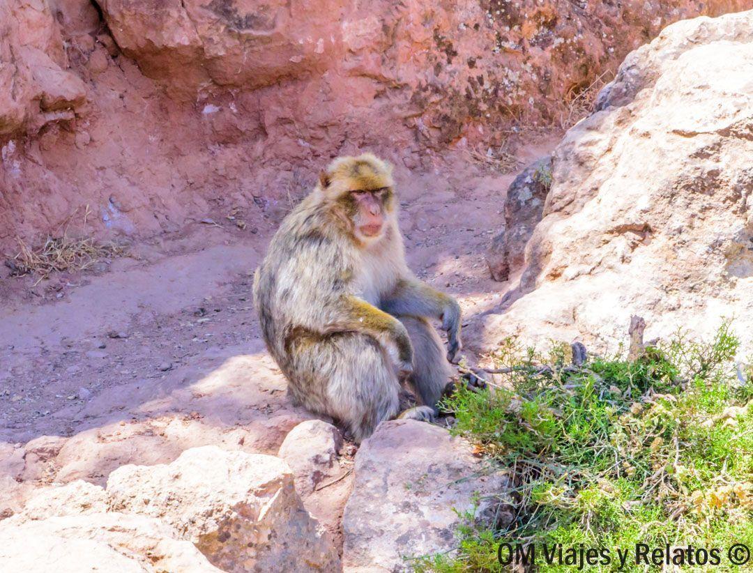 monos-Marruecos