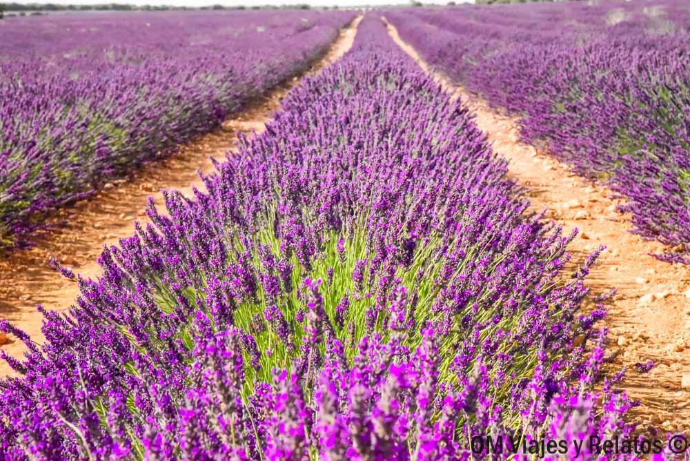 floración-campos-de-Lavanda-de-Brihuega-fotos