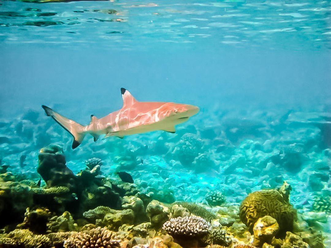 TIBURONES-EN-MALDIVAS
