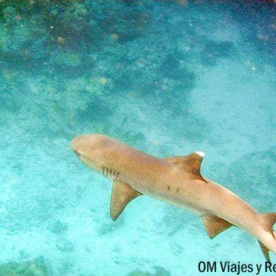 tiburón-Maldivas
