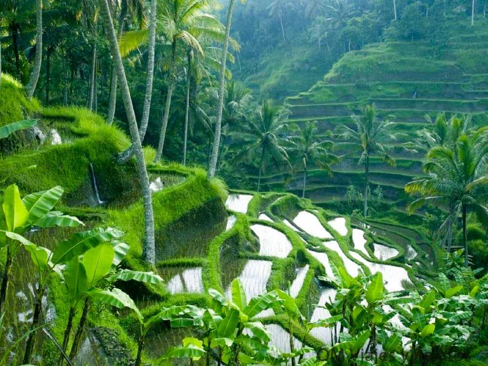rutas-por-Bali-arrozales